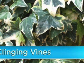Plant Vines in Your Garden